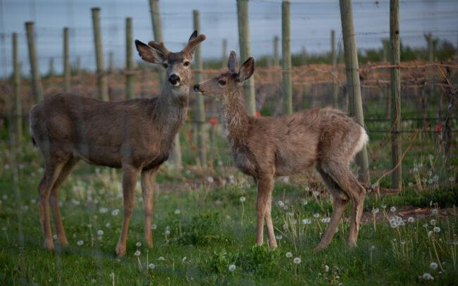 Deer in the vineyard at Elephant Island